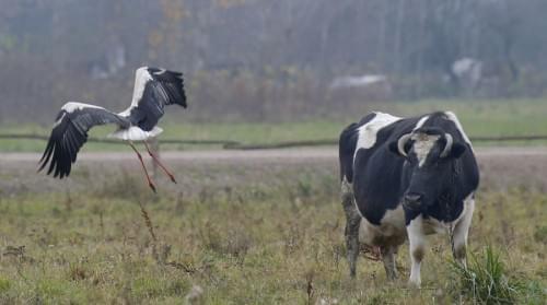 В прошлом году было относительно много сообщений об оставшихся на зиму здоровых летающих белых аистах.